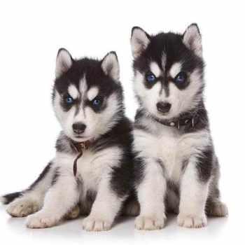 Husky Dog Breeders Near Me