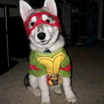 Husky Dog Costume