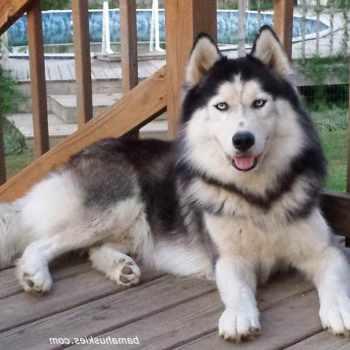 Husky Dog For Sale