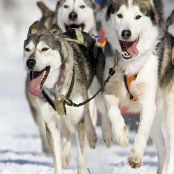 Husky Dogsled