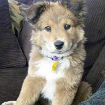 Husky Golden Retriever Mix Puppy For Sale