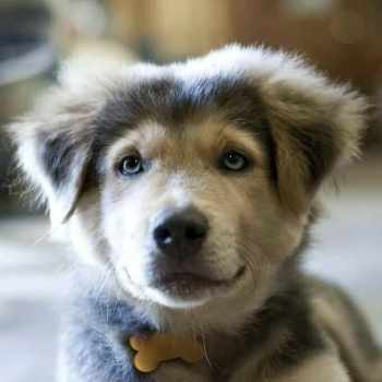 Husky Golden Retriever Mix Puppy