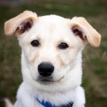 Husky Lab Mix Puppies