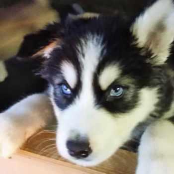 Husky Malamutes For Sale