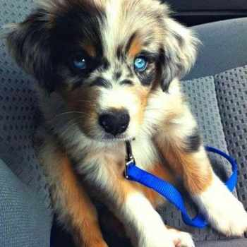 Husky Mixed With Poodle