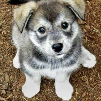 Husky Pug Mix For Sale