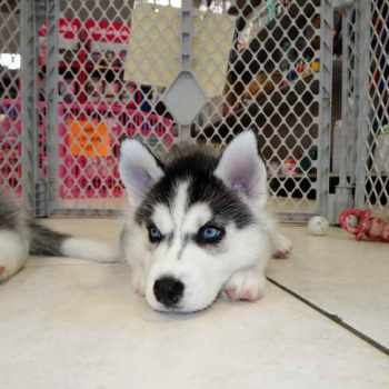 Husky Puppies Atlanta
