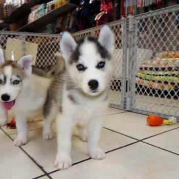 Husky Puppies Bay Area