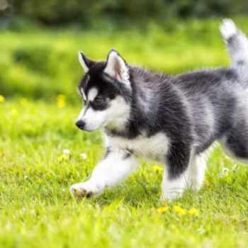 Husky Puppies Cost