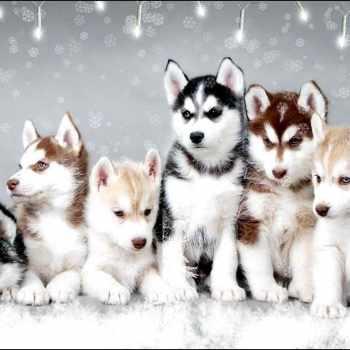 Husky Puppies Ct