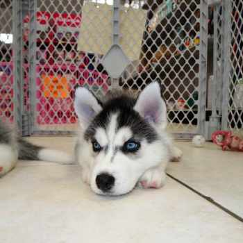 Husky Puppies For Adoption In Texas