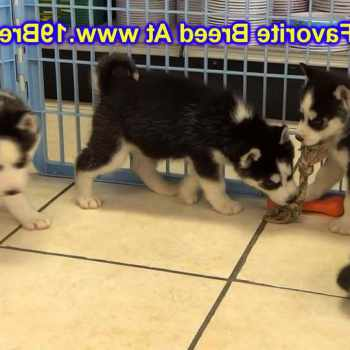 Husky Puppies For Sale In Cincinnati
