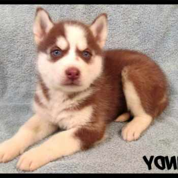 Husky Puppies For Sale In Louisville Ky