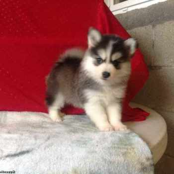 Husky Puppies For Sale In Tulsa