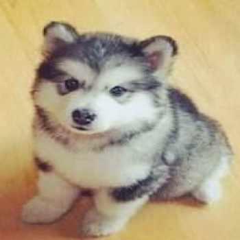 Husky Puppies For Sale Las Vegas