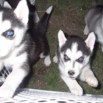Husky Puppies For Sale Oregon
