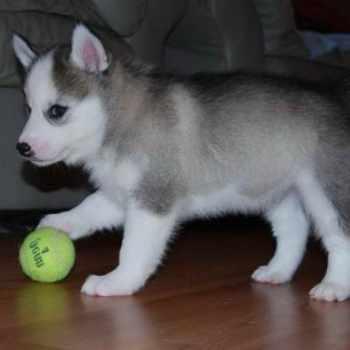 Husky Puppies Indiana