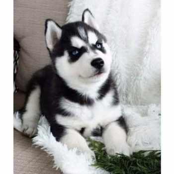 Husky Puppies New York