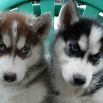 Husky Puppies Orlando