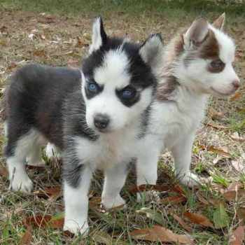 Husky Puppies That Stay Small