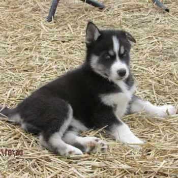 Husky Puppies Va