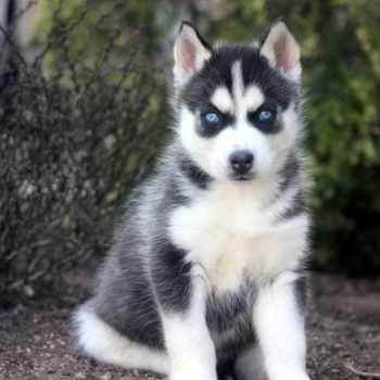 Husky Puppy For Sale In Pa