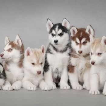 Husky Puppy Supplies