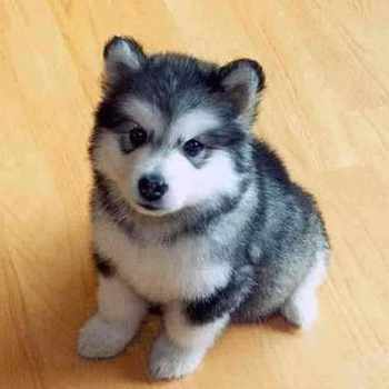 Husky Puppys For Sale