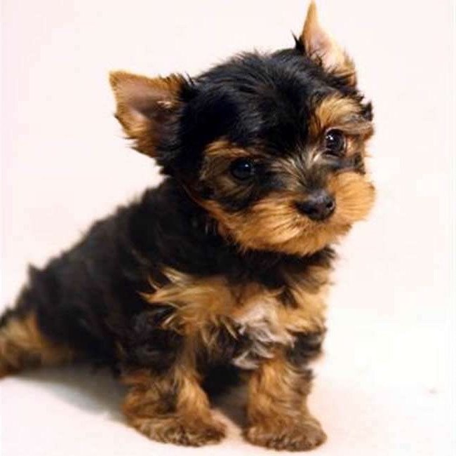 How Much Are Yorkie Terrier Puppies