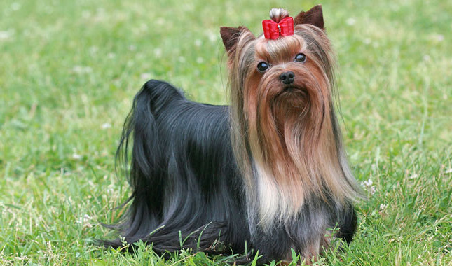 How Much Are Yorkshire Terrier