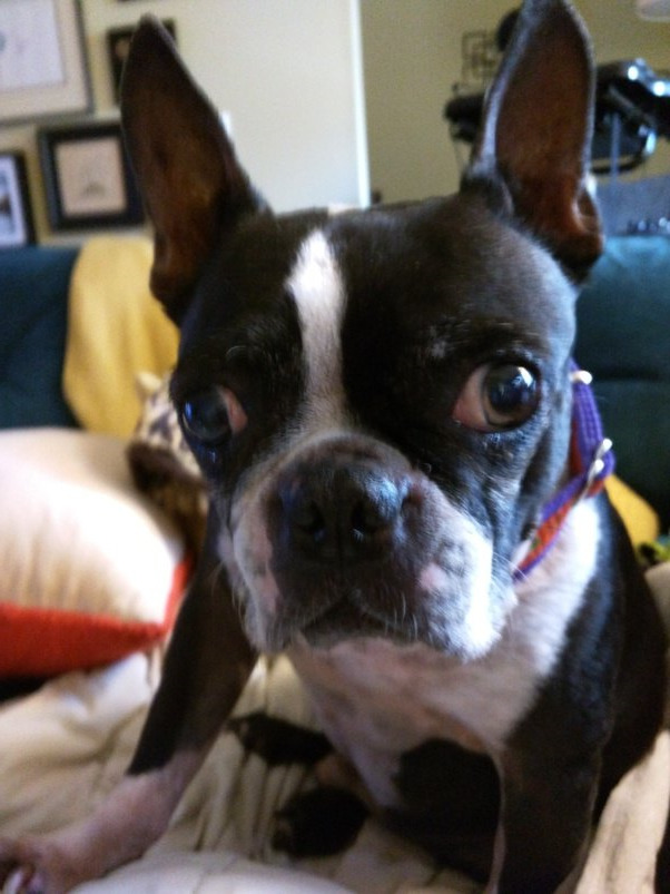 How Much Does A Boston Terrier Cost