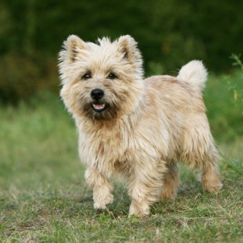 How Much Does A Cairn Terrier Cost