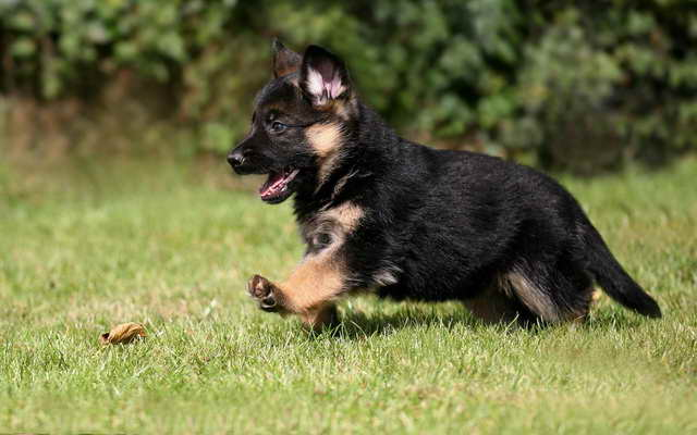 How Much Does A Puppy German Shepherd Cost