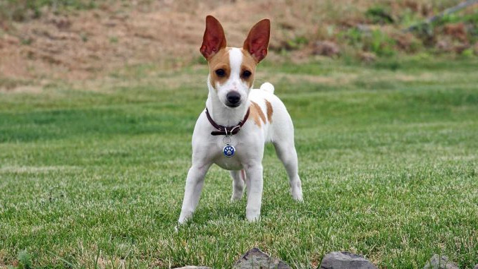 How Much Does A Rat Terrier Cost