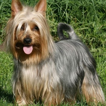 How Much Does A Silky Terrier Cost