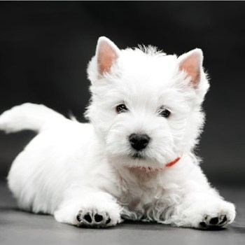How Much Does A West Highland Terrier Cost