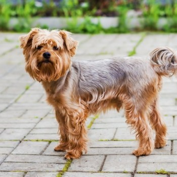 How Much Does A Yorkshire Terrier Weigh