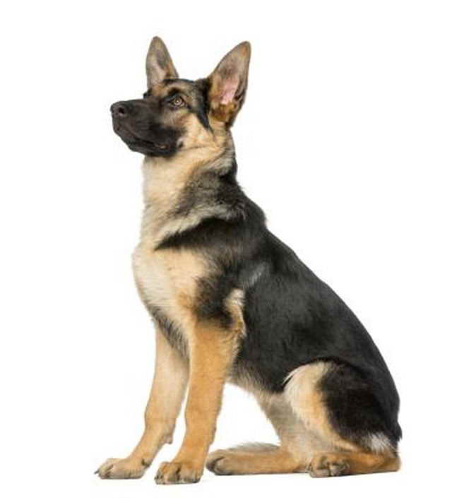 How Much Is A Full Breed German Shepherd