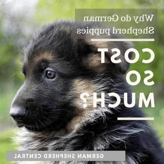 How Much Is A German Shepherd Puppy Cost