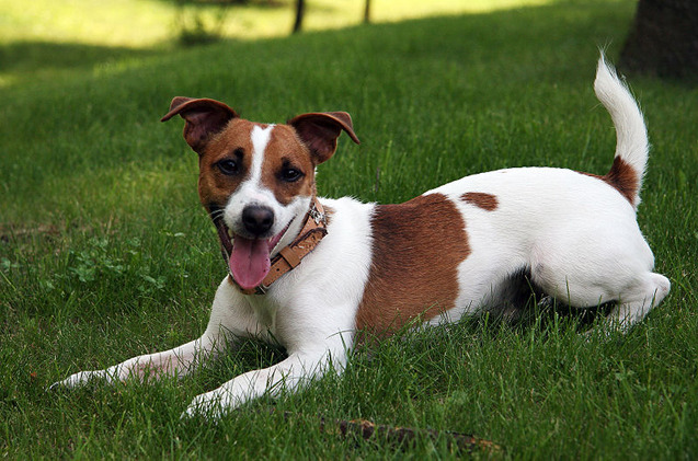 How Much Is A Jack Russell Terrier