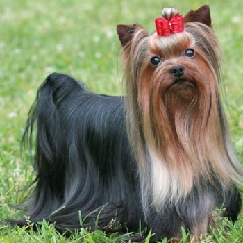 How Much Is Yorkshire Terrier