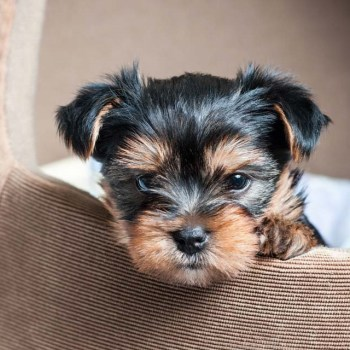 How Much Yorkshire Terrier Cost