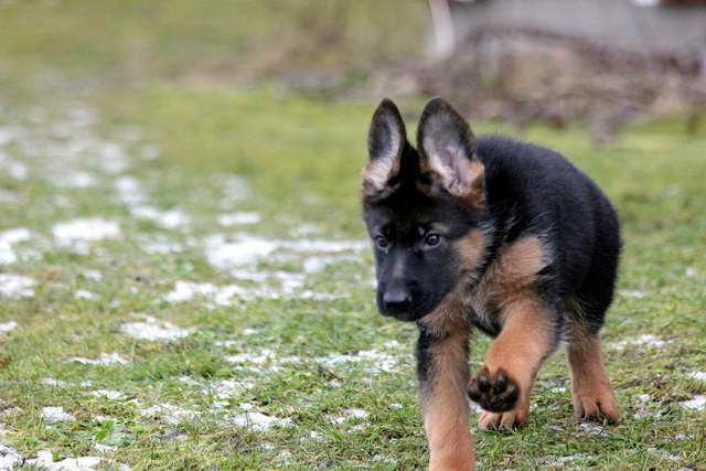 How To Buy A German Shepherd