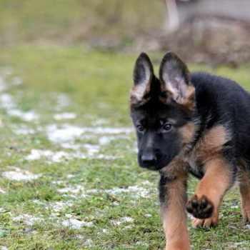How To Buy German Shepherd Puppies