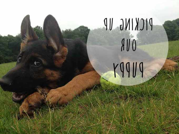 How To Get A German Shepherd