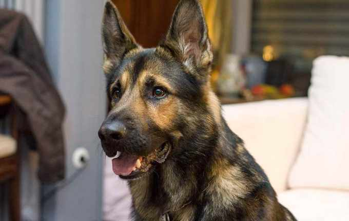 How To Keep A German Shepherd From Shedding