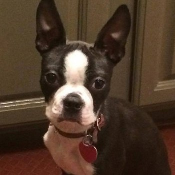 How To Potty Train A Boston Terrier
