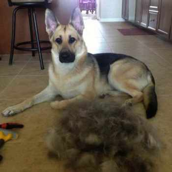 How To Stop A German Shepherd From Shedding