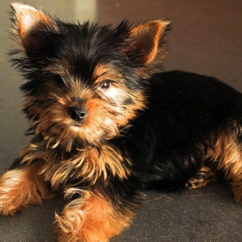 How To Take Care Of A Yorkshire Terrier