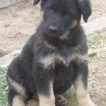 How To Take Care Of German Shepherd Puppies